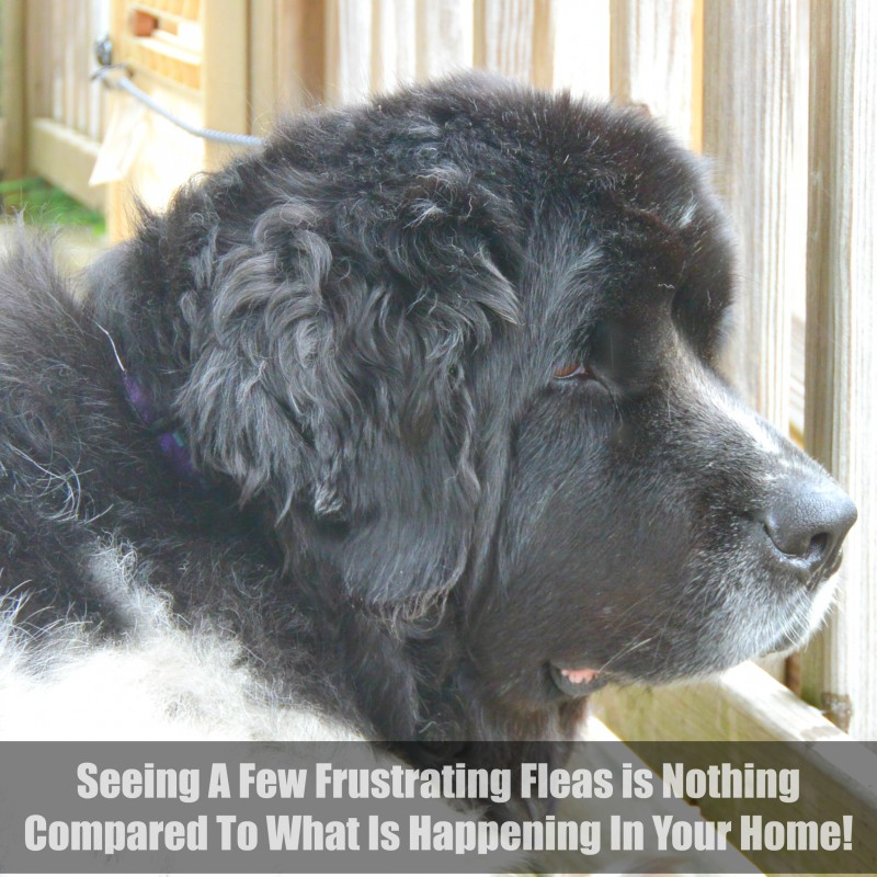 Seeing A Few Frustrating Fleas is Nothing Compared To What Is Happening In Your Home